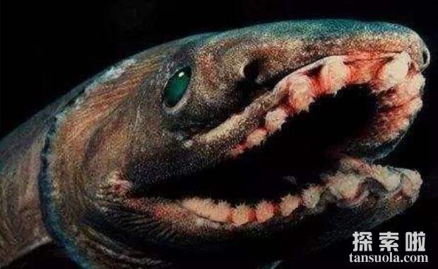 世界上最原始的鲨鱼:皱鳃鲨,鲨鱼中的活化石(3.8亿年)