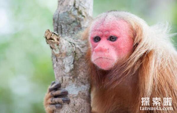 世界上最丑的猴子:白秃猴,尾巴短还秃头,丑到了天际