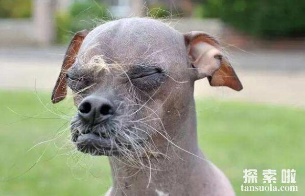 世界上最丑的五种狗排行,中国冠毛犬排名第五