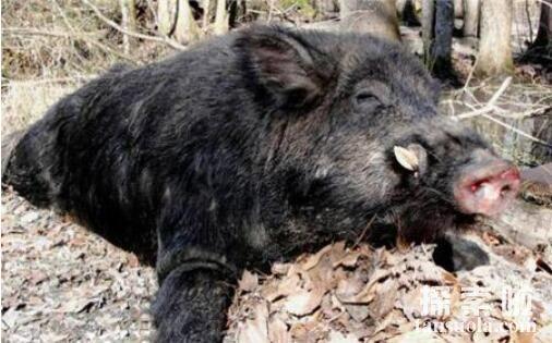世界上最大的野猪:体重454公斤的野猪,猪腿壮如汽车轮胎