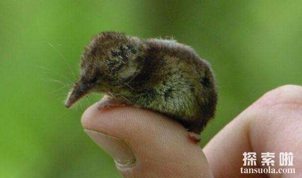 世界上最小的哺乳动物:鼩鼱,体长仅4厘米,体重只有3克