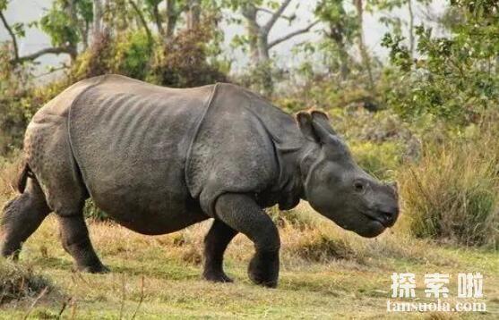 世界上最罕见的犀牛:爪哇犀牛,体长3.3米的巨型犀牛