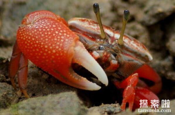 世界上最会变色的螃蟹:招潮蟹,体色一日8变(螃蟹中的变色龙)