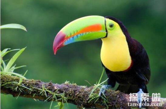 世界上嘴巴最大的鸟:巨嘴鸟,嘴巴最长30厘米(占身长一半)