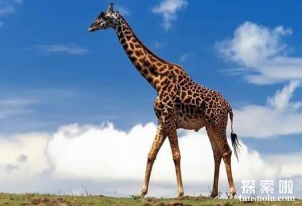 世界上最大最高的长颈鹿:身高6米,太高了找不到对象