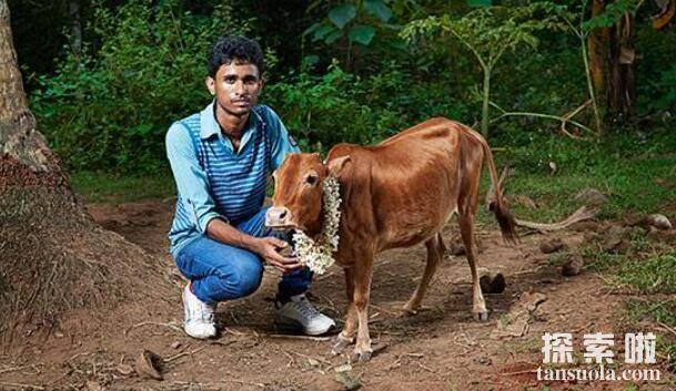 世界上最矮的牛:Manikyam,身高仅61厘米,比狗矮的牛