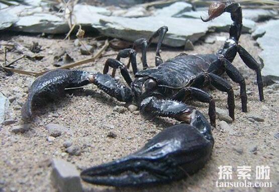 世界上最大的蝎子:真帝王蝎,体长0.4米(成年人手掌的2倍)