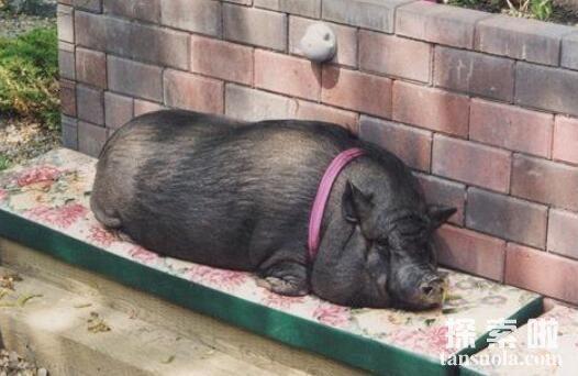 世界上寿命最长的猪:宠物猪Ernestine,活了23年打破世界纪录