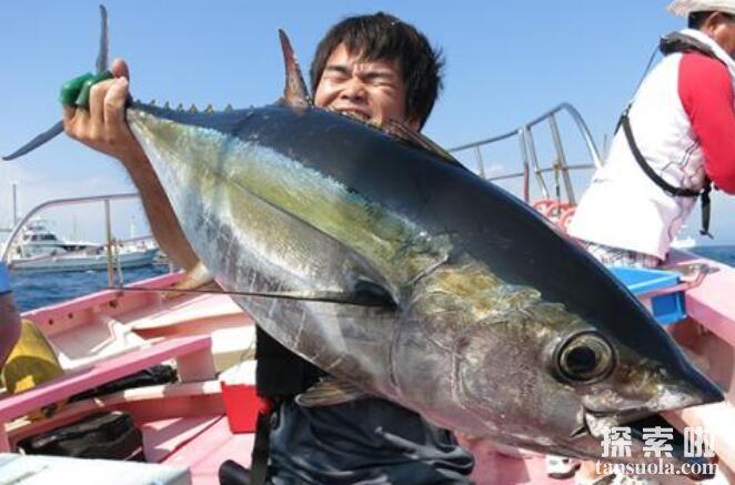 世界上最大的金枪鱼:重834斤的巨大尾鱼(日本胜浦鱼港捕获)