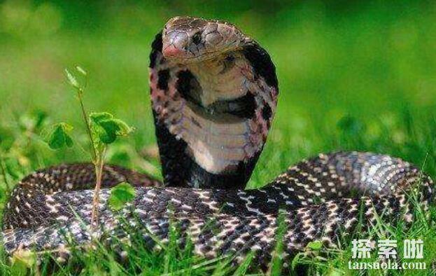 舟山眼镜蛇:名字很美毒性很强的蛇,沟牙毒蛇的一种(蛇中之王)