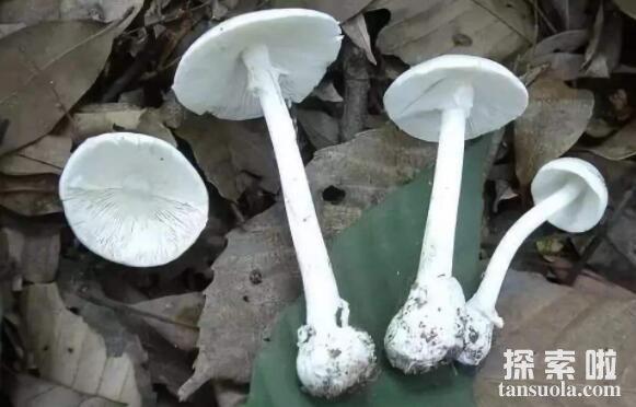什么是白毒伞,盘点白毒伞的累累血案(50克毒死一个成年人)
