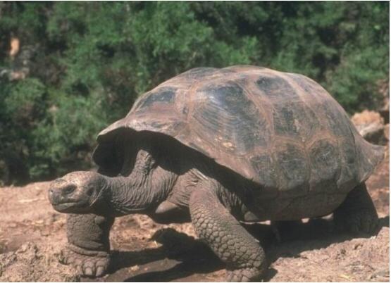 世界上最长寿的乌龟:阿尔达不拉巨龟,活了250岁