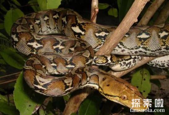 世界上最大的蟒蛇:网纹蟒,体长14.85米的超级大蛇