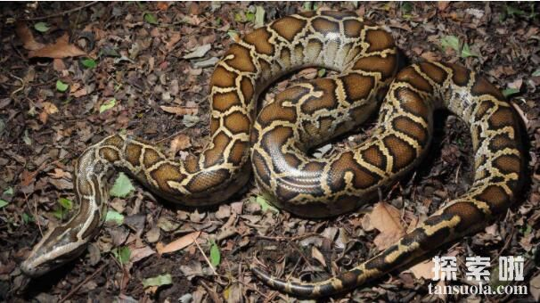 世界上最大的毒蛇:莽山烙铁头,重20公斤的超大蛇