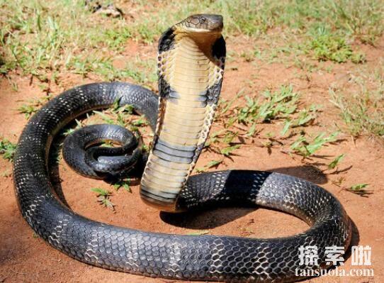 最大的眼镜王蛇,重达70多斤两的最毒蛇类(蛇类煞星)