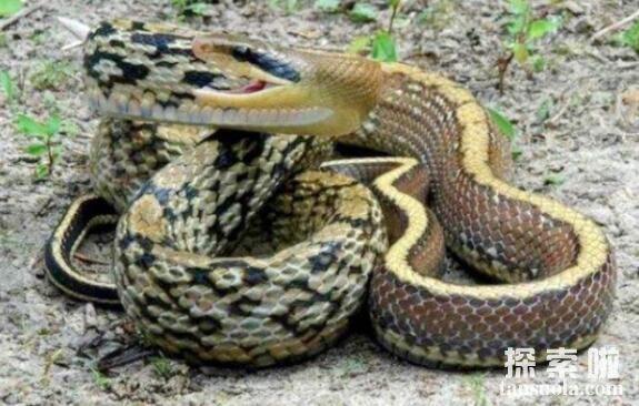 世界上最粗暴的蛇:黑眉锦蛇,爱吃老鼠的蛇