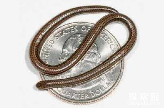 世界上最稀有的蛇:卡拉细盲蛇,形如意大利面条的蛇(长10厘米)