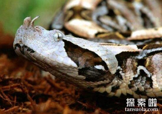 加蓬咝蝰PK眼镜王蛇,毒牙长5厘米的加蓬咝蝰更胜一筹