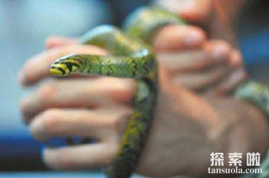 世界上最美的无毒蛇:横斑锦蛇,有类似黑珍珠项链般斑纹