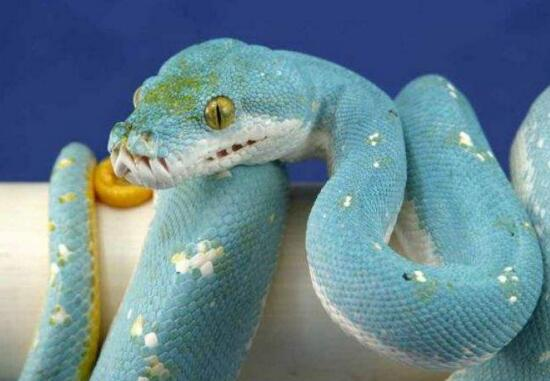 世界上最罕见的蛇:蓝蛇,绿树蟒与森王蛇争相斗艳