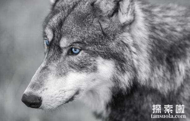世界上体型巨大的狼:北美灰狼,身长2米可轻松干掉藏獒