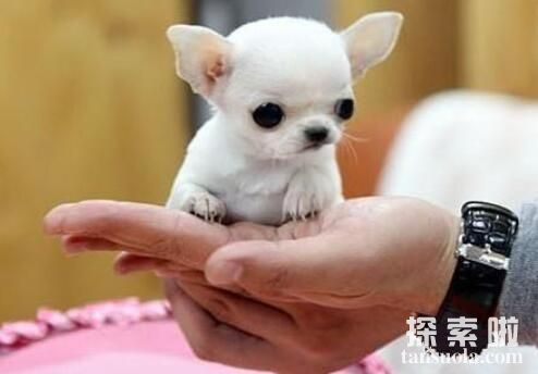 世界上的小体型狗真不少,最小的狗可以放在茶杯里