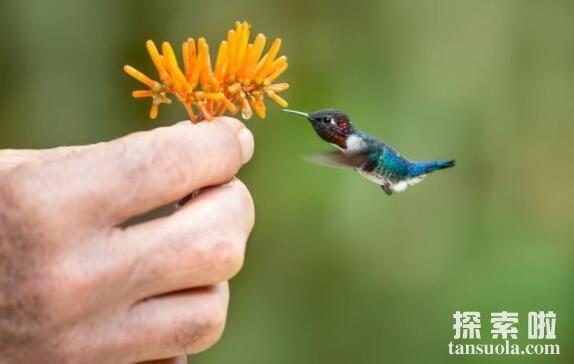 盘点世界上最小的鸟,蜂鸟仅1.5克,大小如同打火机