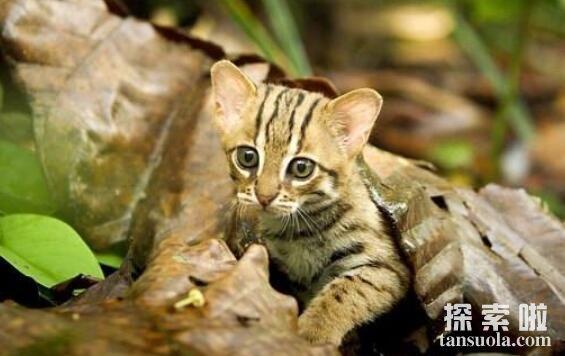 全球超小的猫,大小为家猫一半(可捧手心里)
