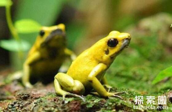 世界上最美丽的蛙:黄金箭毒蛙,性感的剧毒之蛙(死亡天使)