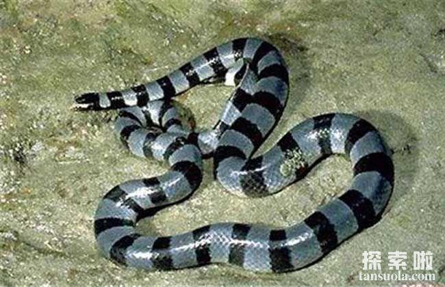 世界上最致命的蛇:海蛇,毒性为眼镜蛇的两倍