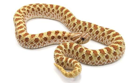 世界上最胆小的蛇:猪鼻蛇,长相滑稽胆子很小(超萌超可爱)