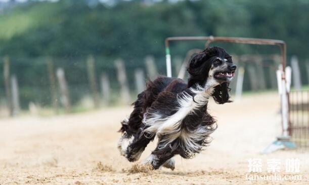 """""""超级模特""""阿富汗猎犬有多美,阿富汗猎犬为什么被禁养"""