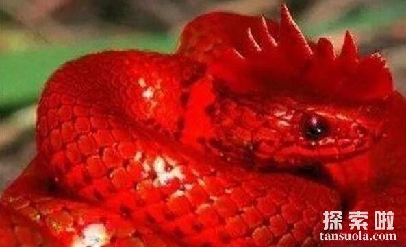 鸡冠蛇为什么会说人话,鸡冠蛇为什么不咬吴邪