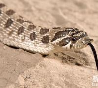 世界上最会装死的蛇:猪鼻蛇,装死撒尿喷屎(蛇圈影帝)