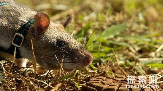 世界上最大的老鼠有多大,壮如大狗的变异非洲巨鼠