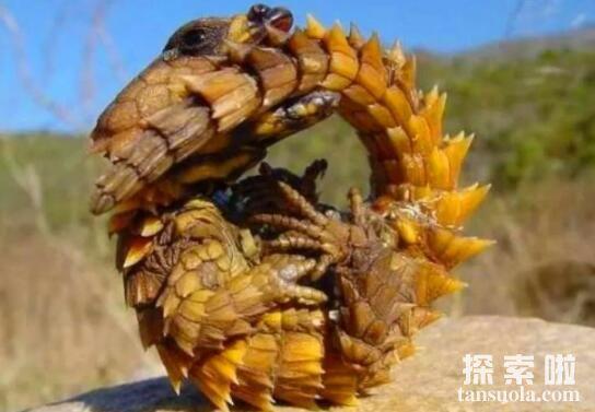 地球上最像龙的动物:南非犰狳蜥,无毒不咬人擅长逃跑