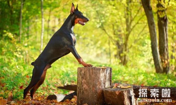 世界上最聪明的狗排名,边境牧羊犬最会察言观色