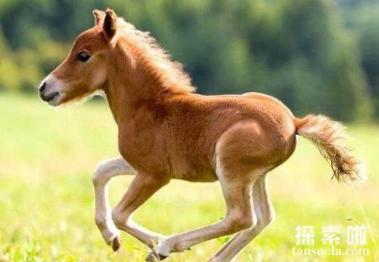 世界上最矮的驴:迷你驴,身高仅60cm基因突变天生长不大