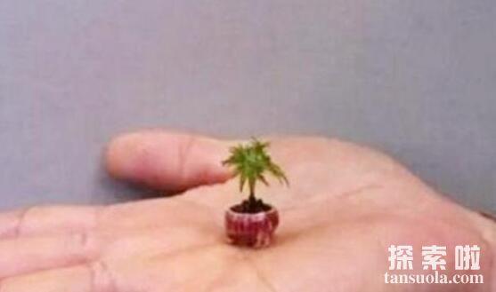 世界上最矮的树:矮柳,树高不超过5厘米