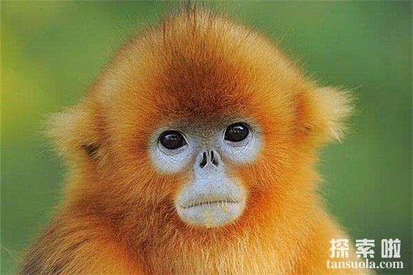 世界上最奇特的动物:金丝猴,吃东西的样子很斯文